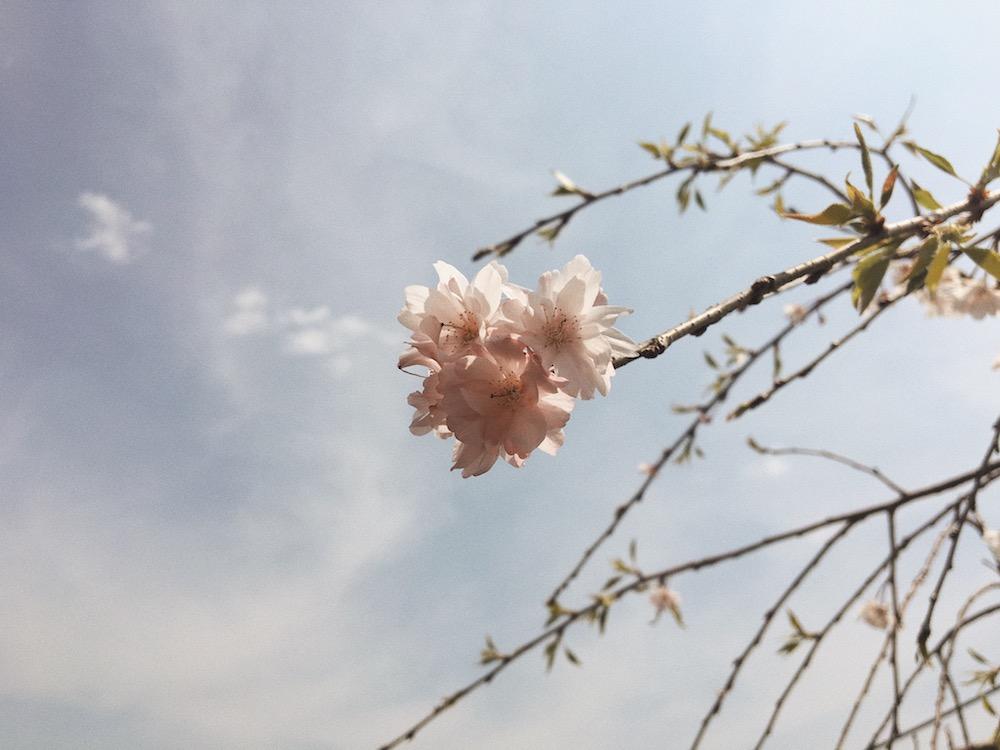 sakura photo by cozue yoshimura