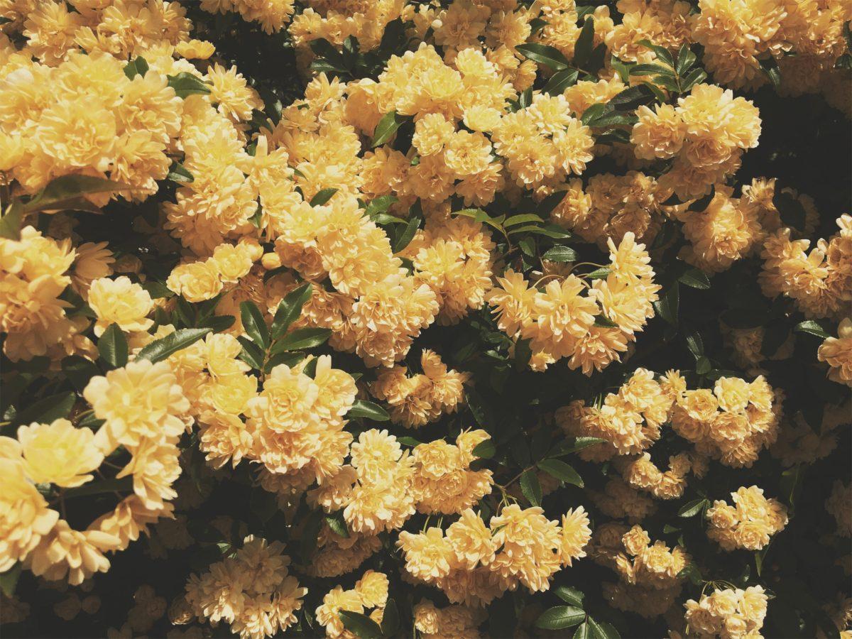 sun yellow flower